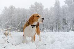 Собака бигля идя в лес зимы снежный Стоковая Фотография