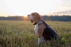 Собака бигля на прогулке рано утром Стоковая Фотография
