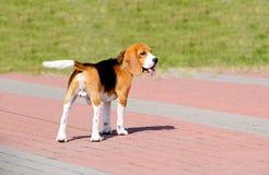 Собака бигля смотрит назад Стоковые Фотографии RF