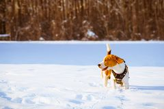 Собака бигля стоя в снеге Стоковое фото RF