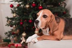 Собака бигля с рождественской елкой Стоковые Фото