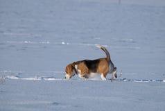 Собака бигля бежать в снеге Стоковая Фотография RF