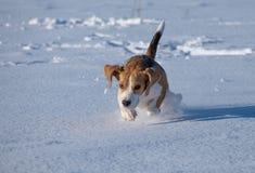 Собака бигля бежать в снеге Стоковое Изображение