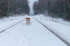 Собака бигля бежать в снеге Стоковые Изображения