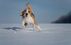 Собака бигля бежать в снеге Стоковые Фото