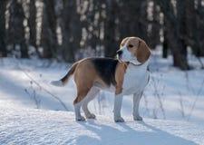 Собака бигля бежать в снеге Стоковое Фото