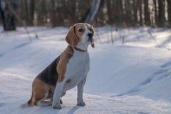 Собака бигля бежать в снеге Стоковые Изображения RF