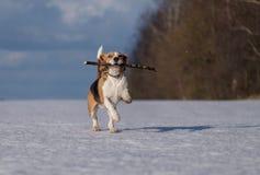 Собака бигля бежать в снеге Стоковое Изображение RF