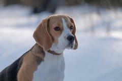 Собака бигля бежать в снеге Стоковая Фотография
