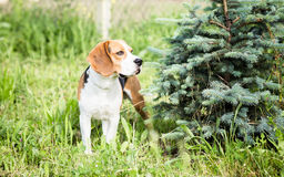 Собака бигля внешняя Стоковая Фотография RF