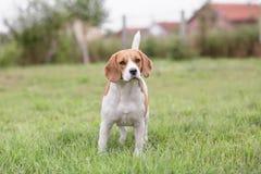 Собака бигля внешняя Стоковая Фотография