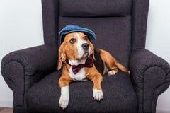 Собака бигля в лежать бабочки и крышки Стоковые Изображения RF