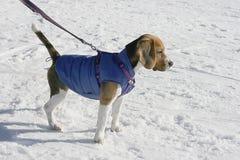 Собака бигля в зиме Стоковое Изображение RF