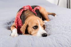 Собака бигля в красном bandana лежа на кровати Стоковое фото RF