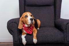 Собака бигля в красный лежать bandana Стоковые Изображения