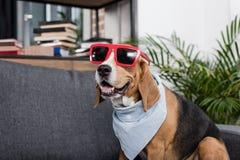 Собака бигля в красных солнечных очках и bandana сидя на софе Стоковая Фотография RF