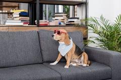 Собака бигля в красных солнечных очках и bandana сидя на софе Стоковые Изображения