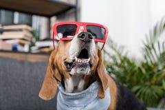 Собака бигля в красных солнечных очках и bandana сидя дома Стоковое фото RF