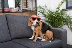 Собака бигля в красных солнечных очках сидя на софе Стоковое Изображение