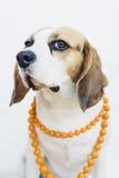 Собака бигля в оранжевом ожерелье Стоковые Фотографии RF