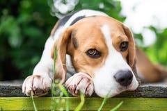 Собака бигля в саде смотря в камеру Стоковые Изображения RF