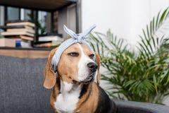 Собака бигля в сером bandana сидя на софе Стоковое фото RF