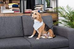 Собака бигля в сером bandana сидя на софе Стоковые Изображения