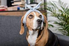 Собака бигля в сером bandana сидя дома Стоковое Фото