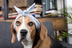Собака бигля в сером bandana сидя дома Стоковые Изображения RF