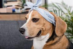 Собака бигля в сером bandana сидя дома Стоковая Фотография