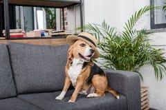 Собака бигля в соломенной шляпе сидя на софе Стоковое Фото
