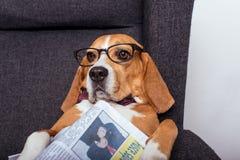 Собака бигля в eyeglasses лежа с газетой Стоковое Изображение RF