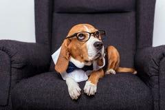 Собака бигля в eyeglasses и лежать бабочки Стоковое Изображение