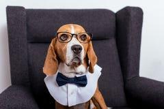 Собака бигля в eyeglasses и усаживании бабочки Стоковые Фото