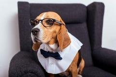Собака бигля в eyeglasses и усаживании бабочки Стоковые Фотографии RF
