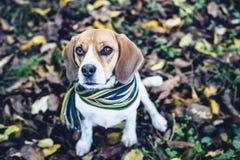 Собака бигля в striped шарфе сидя на земле покрытой с упаденными листьями в autum Стоковые Фотографии RF