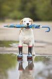 Собака бигля в wellies Стоковая Фотография RF