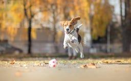 Собака бигля гоня шарик и скача в парк Стоковое Изображение RF
