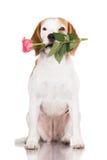 Собака бигля держа розу Стоковые Изображения