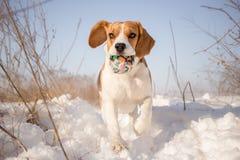 Собака бигля играя в снеге Стоковые Фото
