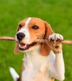 Собака бигля играя с ручкой Стоковая Фотография