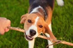 Собака бигля играя с ручкой Стоковая Фотография RF