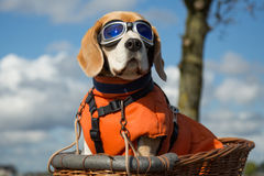 Собака бигля нося голубые стекла летая стоковое изображение rf