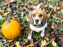 Собака бигля нося striped шарф сидя на упаденных листьях приближает к тыкве Стоковые Изображения