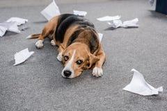 Собака бигля при сорванная бумага лежа на поле дома Стоковая Фотография RF