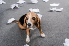 Собака бигля при сорванная бумага сидя на поле дома Стоковое фото RF