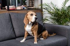 Собака бигля сидя на серой софе дома Стоковое фото RF
