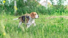 Собака бигля смотря бдительный Стоковые Изображения RF