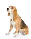 Собака бигля смотря прочь и поднимает Стоковые Изображения