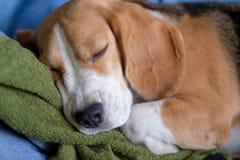 Собака бигля спать на полотенце Стоковые Фотографии RF